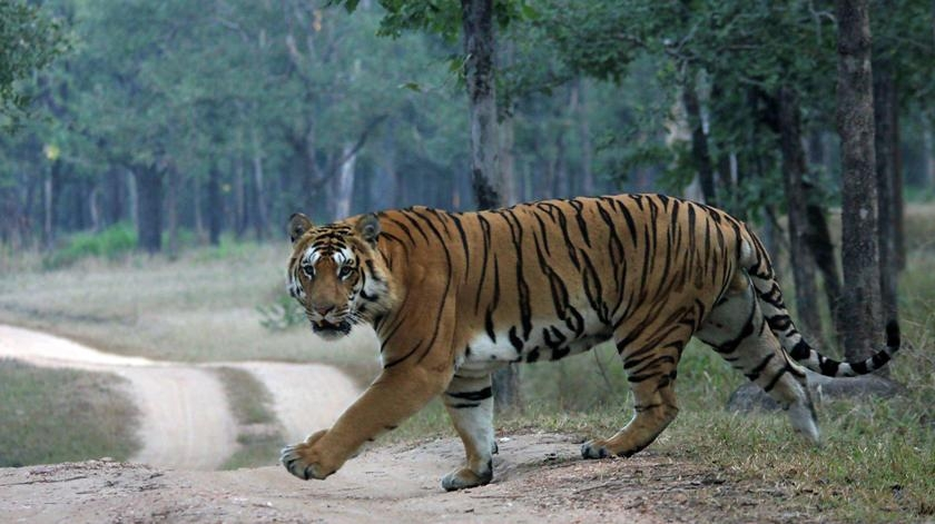 India loses 98 tigers, Madhya Pradesh in top with 26 deaths in 2017 as per NTCA