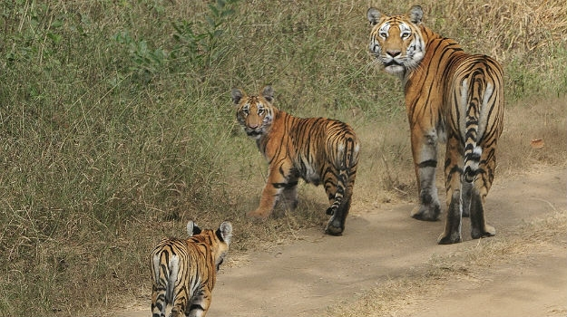 How is the condition of tigers in India?