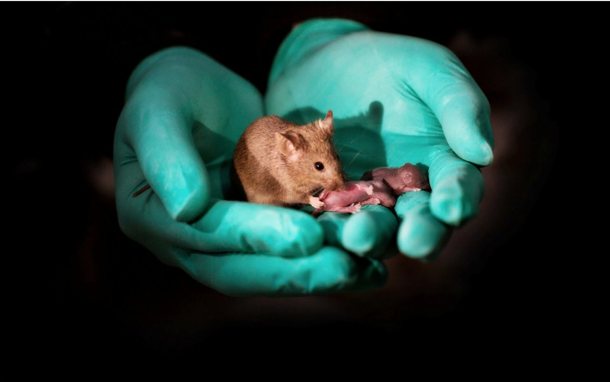 Same-sex mouse parents gave birth to healthy babies