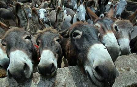 गधों के 'सहारे' पाकिस्तान की अर्थव्यवस्था!