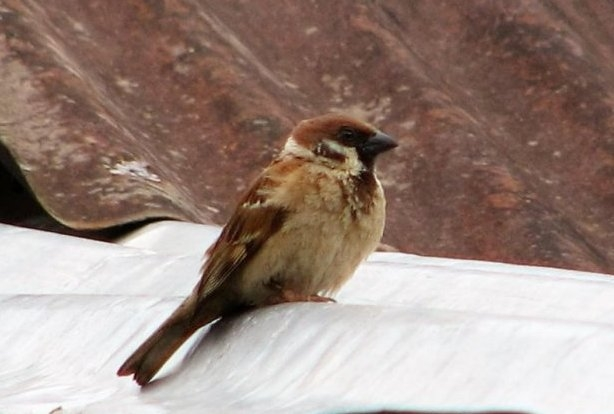 World Sparrow Day 2019: Save sparrow before it's too late