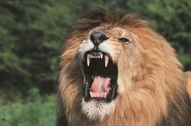 A lion's roar can be heard from nearly 8 KM away!