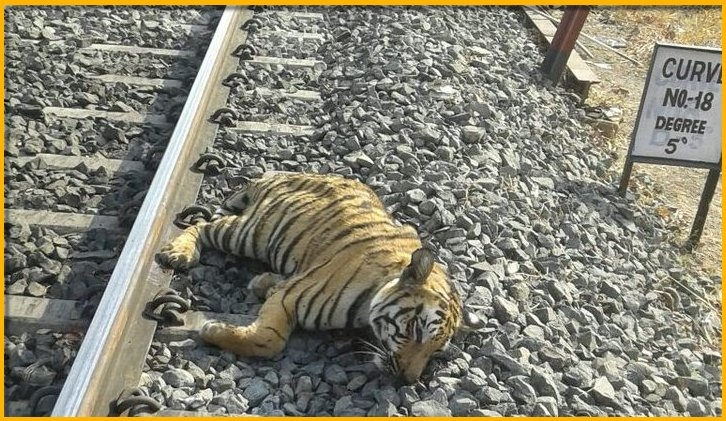 Tiger dies after collision with a Train
