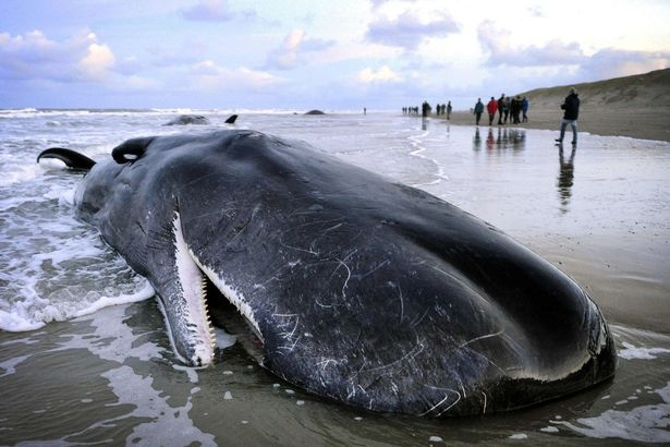 What happens when a blue whale dies?
