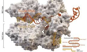 CRISPR gene tool can cause unintended flaws in genome