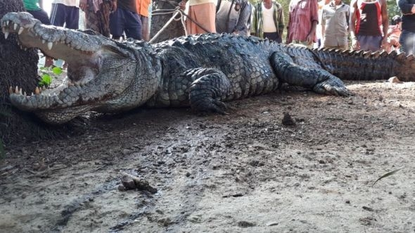 ​It turns out to be tricky morning for Dasharath  Madkami when a zombie size crocodile wakes him up from his sleep.